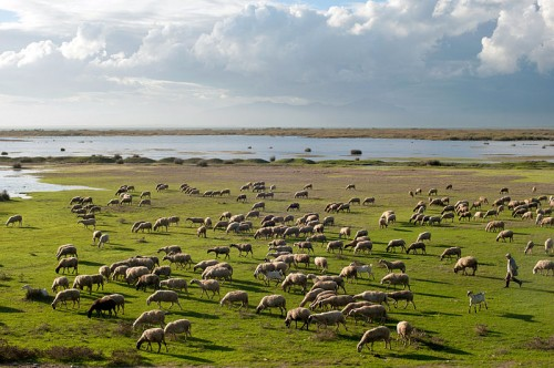 A shepherd tending grazing sheep on the green banks of Vistonida lake in Greece. The lake can be seen in the background under a cloudy sky with glancing Sunlight.