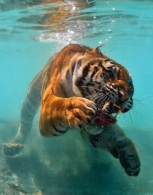 tiger underwater snarling