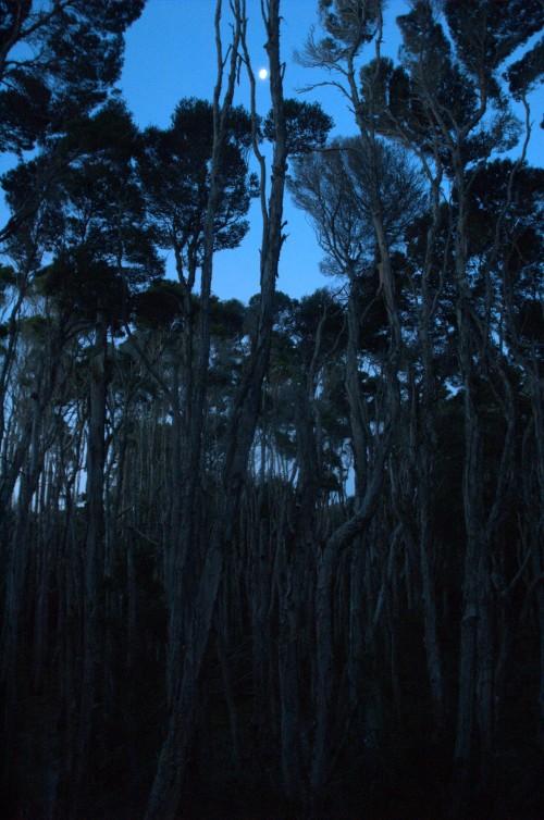Melaleuca trees in moonlight