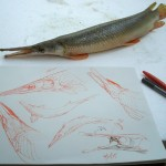 Morphology of a shortnose gar