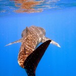 whale shark 01 by ~ptornot