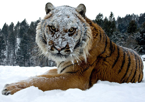 photograph of a tiger with a snow-covered face
