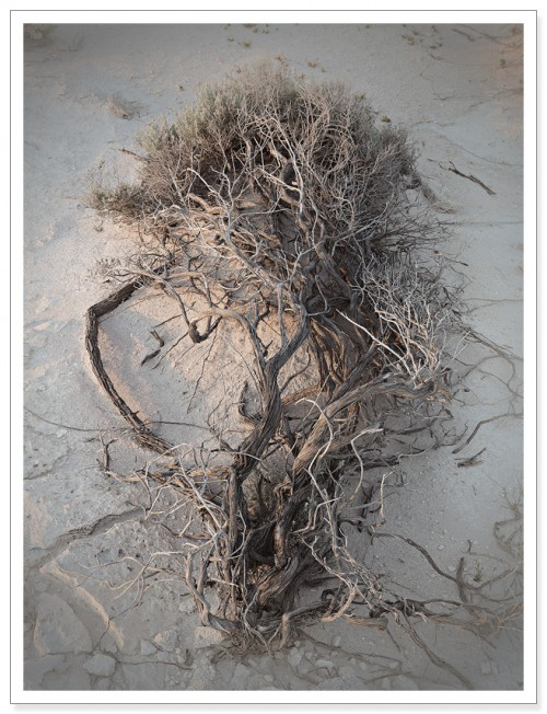 Gnarled old sinuous tree twisted along the sand