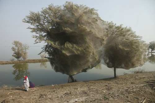 Trees cocooned in spiders webs in the aftermath of a flood