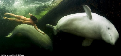 Natalia Avseenko swimming with beluga whales