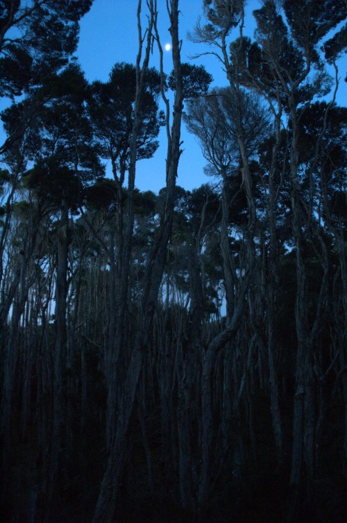 Melaleuca trees in moonlight
